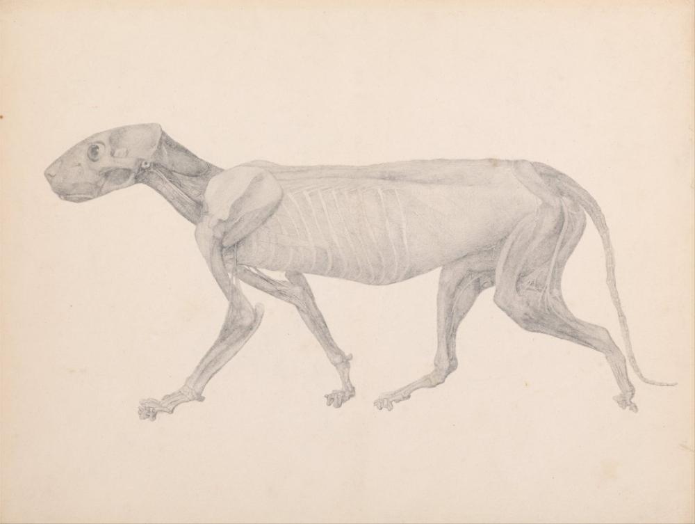 George Stubbs, A Tiger Anatomy VII, Figure, George Stubbs, kanvas tablo, canvas print sales