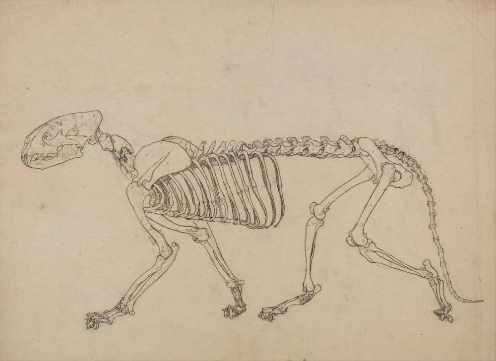 George Stubbs, Bir Kaplan Anatomisi II, Figür, George Stubbs, kanvas tablo, canvas print sales