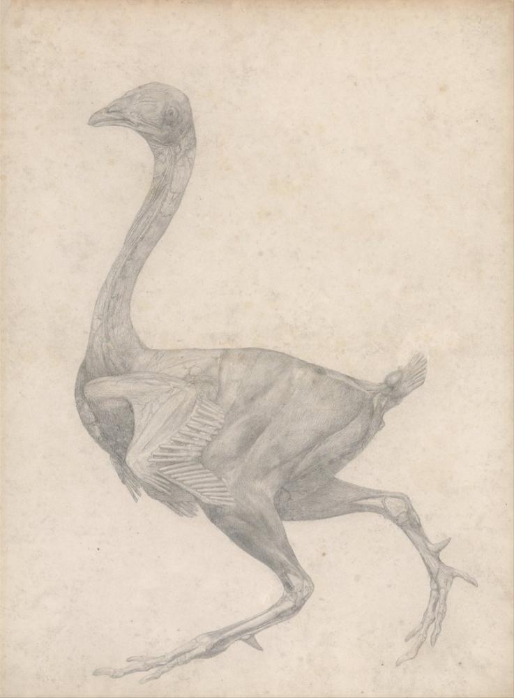 George Stubbs, Bir Horoz Anatomi III, Figür, George Stubbs, kanvas tablo, canvas print sales