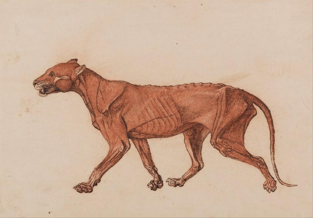 George Stubbs, a Tiger Anatomy IV, Figure, George Stubbs, kanvas tablo, canvas print sales