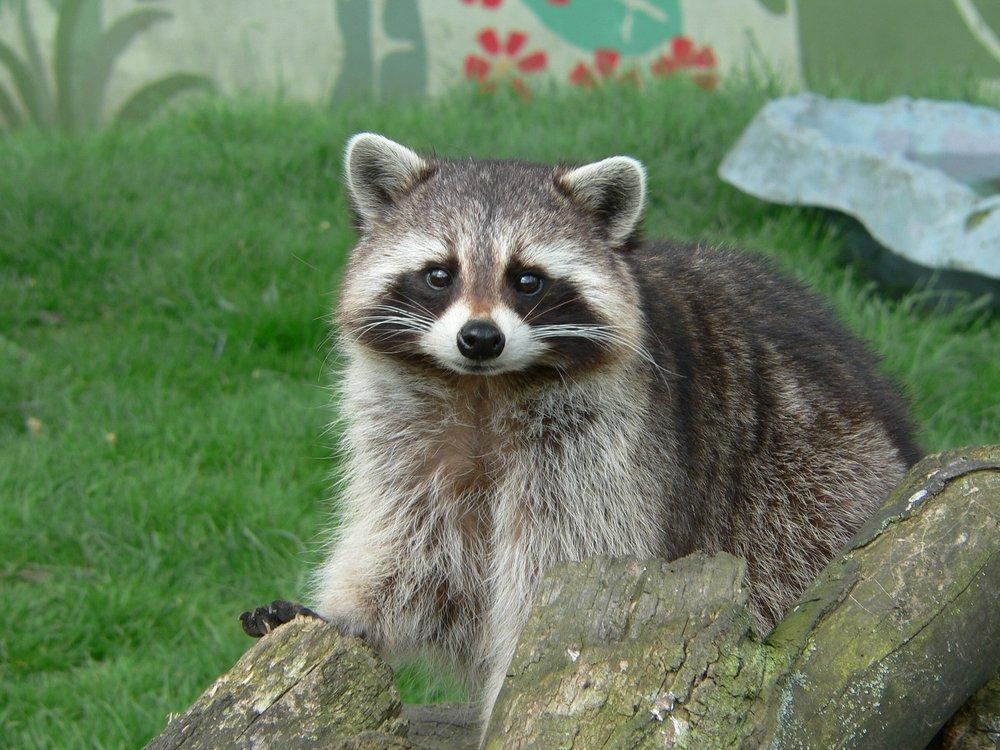 Raccoon Cute Pose Poster, Animal, Poster Satış, all posters, kanvas tablo, canvas print sales