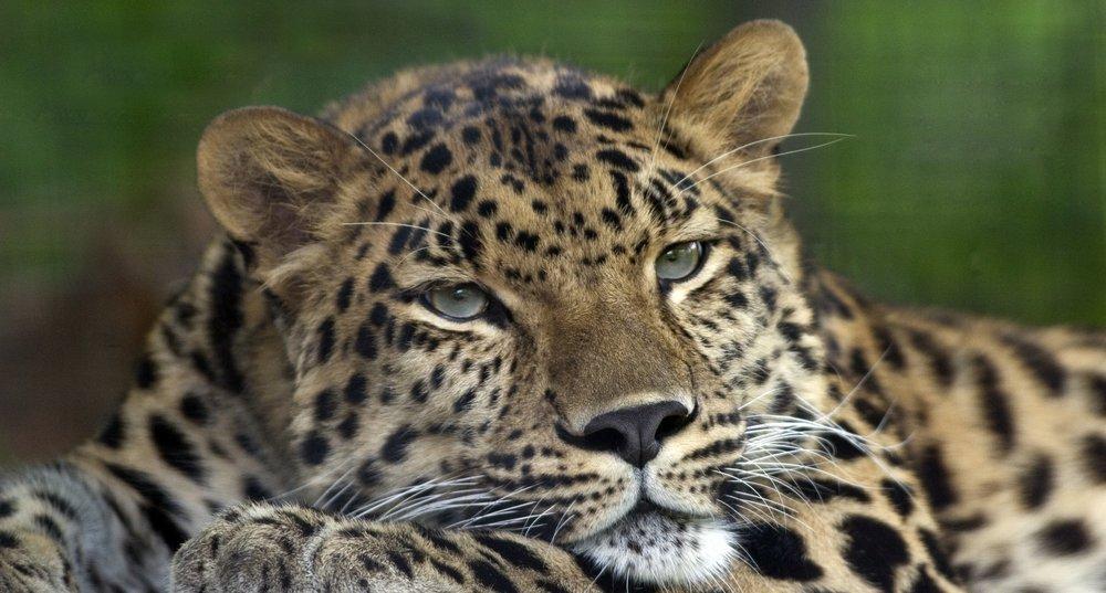 Amur Leopard Pittsburgh Poster, Animal, Poster Satış, all posters, kanvas tablo, canvas print sales