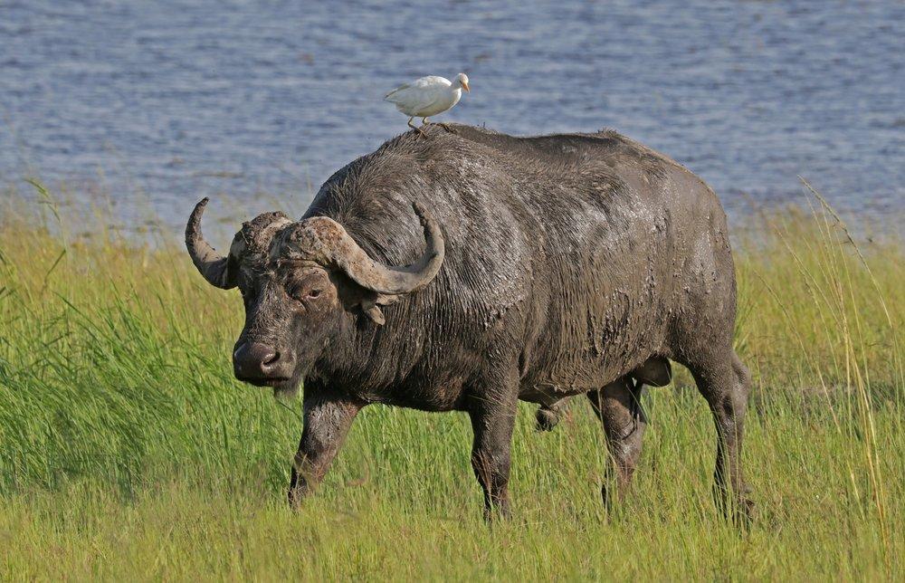 African Buffalo Poster, Animal, Poster Satış, all posters, kanvas tablo, canvas print sales