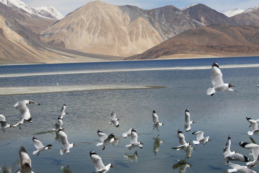 Pangong Lake Flock Poster, Animal, Poster Satış, all posters, kanvas tablo, canvas print sales