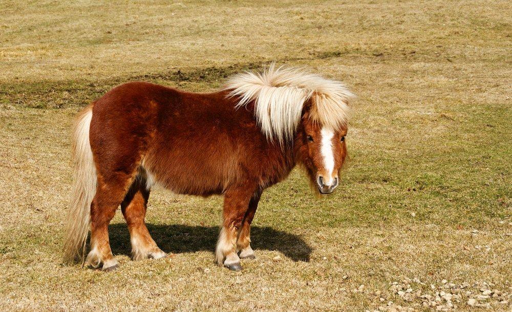 Pony Poster, Animal, Poster Satış, all posters, kanvas tablo, canvas print sales