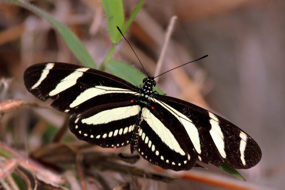 Zebra Heliconian Butterfly Poster, Animal, Poster Satış, all posters, kanvas tablo, canvas print sales