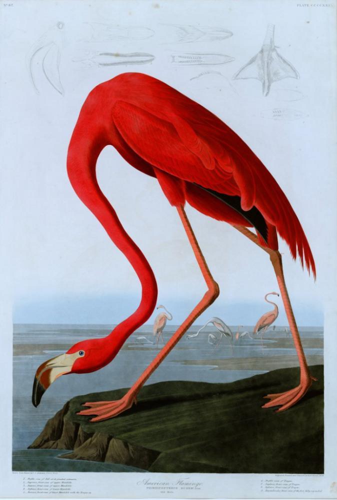 American Flamingo Poster 2 Poster, Animal, Poster Satış, all posters, kanvas tablo, canvas print sales