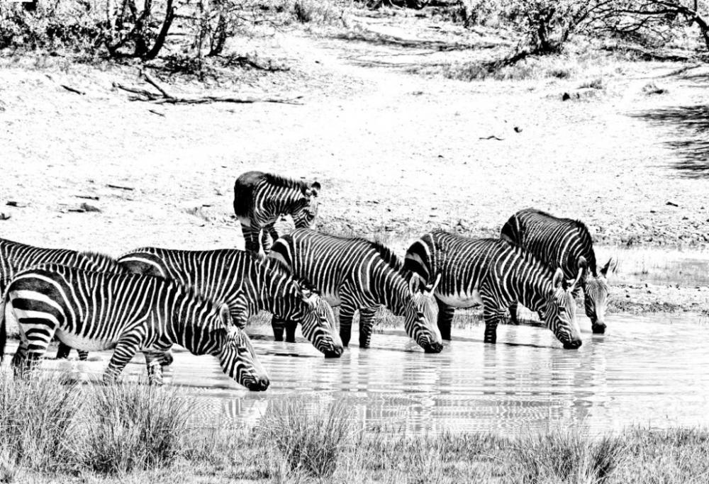 Zebras Drinking Poster, Animal, Poster Satış, all posters, kanvas tablo, canvas print sales