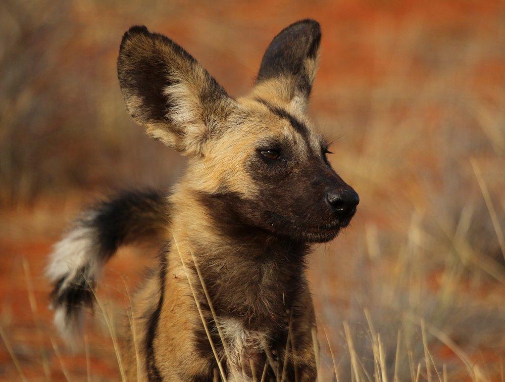 Afrika Yaban Köpeği Posteri, Hayvan, Poster Satış, all posters, kanvas tablo, canvas print sales
