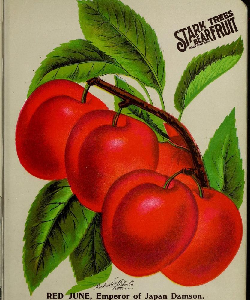 Japon Damson Eriği Posteri, Bitki, Poster Satış, all posters, kanvas tablo, canvas print sales