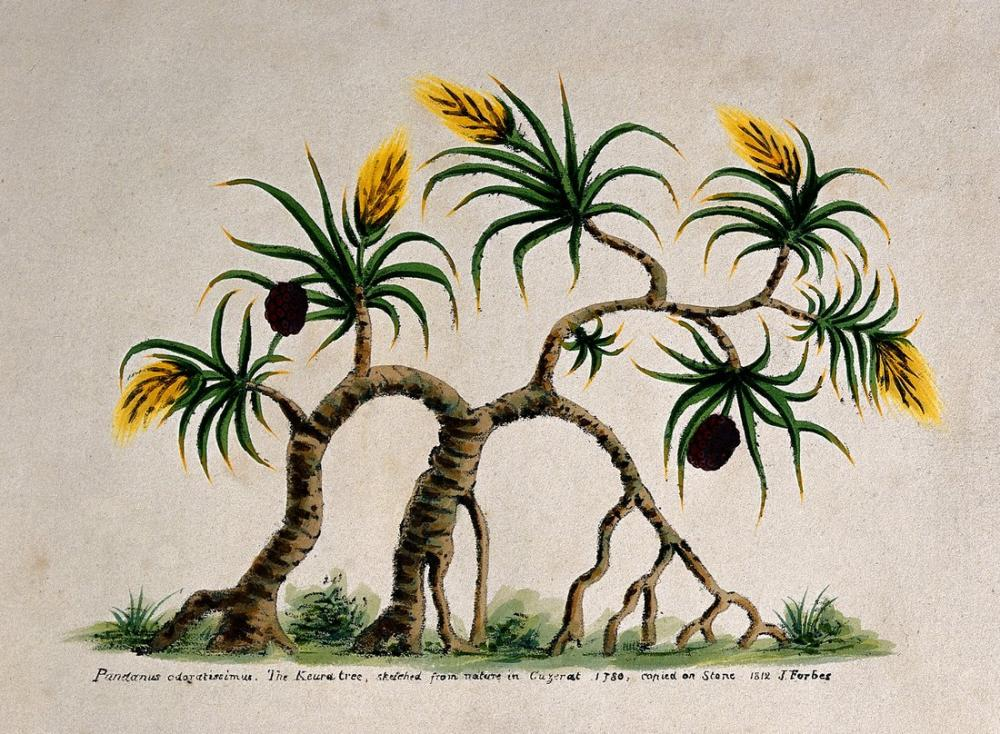 Pandanus Tectorius Poster, Plant, Poster Satış, all posters, kanvas tablo, canvas print sales