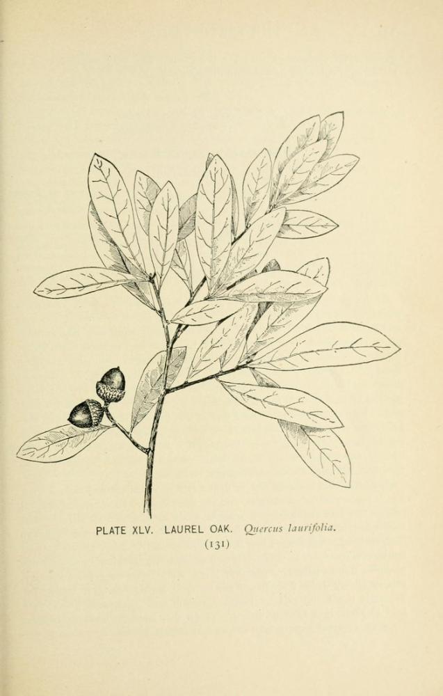 Oak-tree Poster, Plant, Poster Satış, all posters, kanvas tablo, canvas print sales