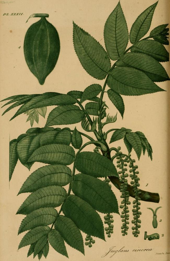 American Medical Botany Poster, Plant, Poster Satış, all posters, kanvas tablo, canvas print sales