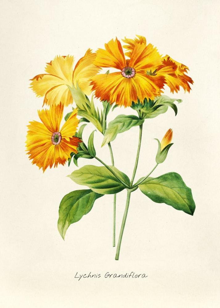 Carnation Poster, Plant, Poster Satış, all posters, kanvas tablo, canvas print sales