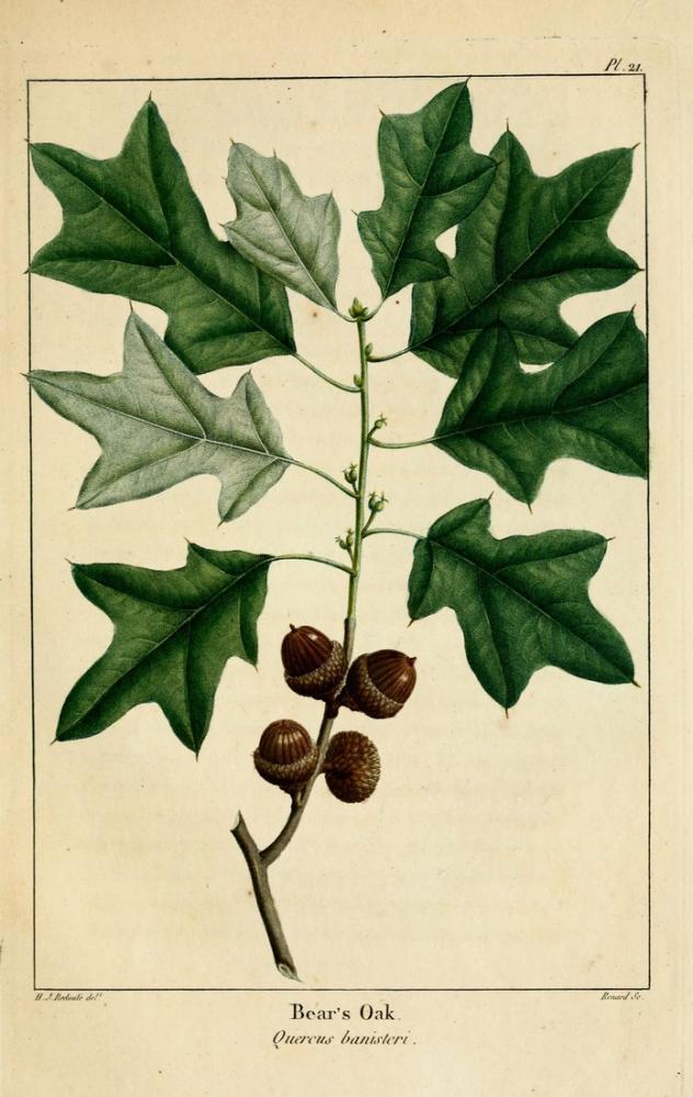 Oak Poster, Plant, Poster Satış, all posters, kanvas tablo, canvas print sales
