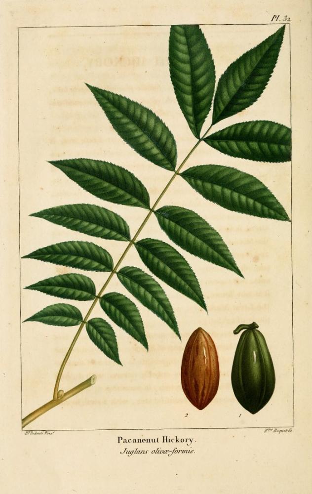 Pecan Nuts Poster, Plant, Poster Satış, all posters, kanvas tablo, canvas print sales
