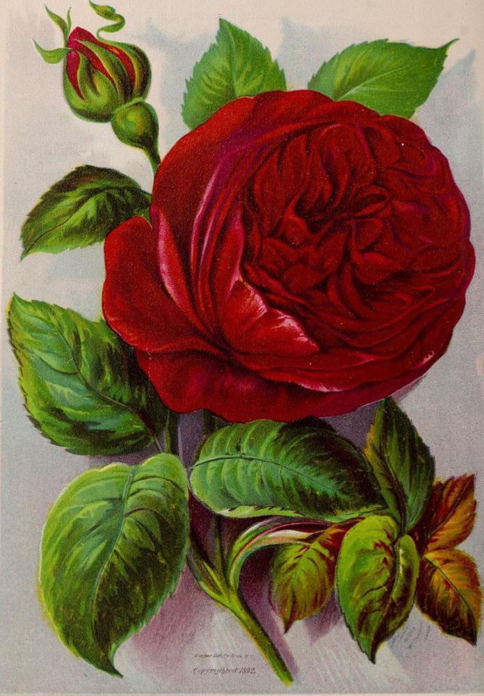 Kırmızı Gül Posteri, Bitki, Poster Satış, all posters, kanvas tablo, canvas print sales