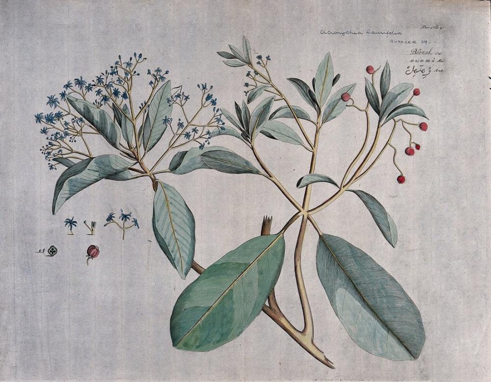 Acronychia Laurifolia Blume Poster, Plant, Poster Satış, all posters, kanvas tablo, canvas print sales