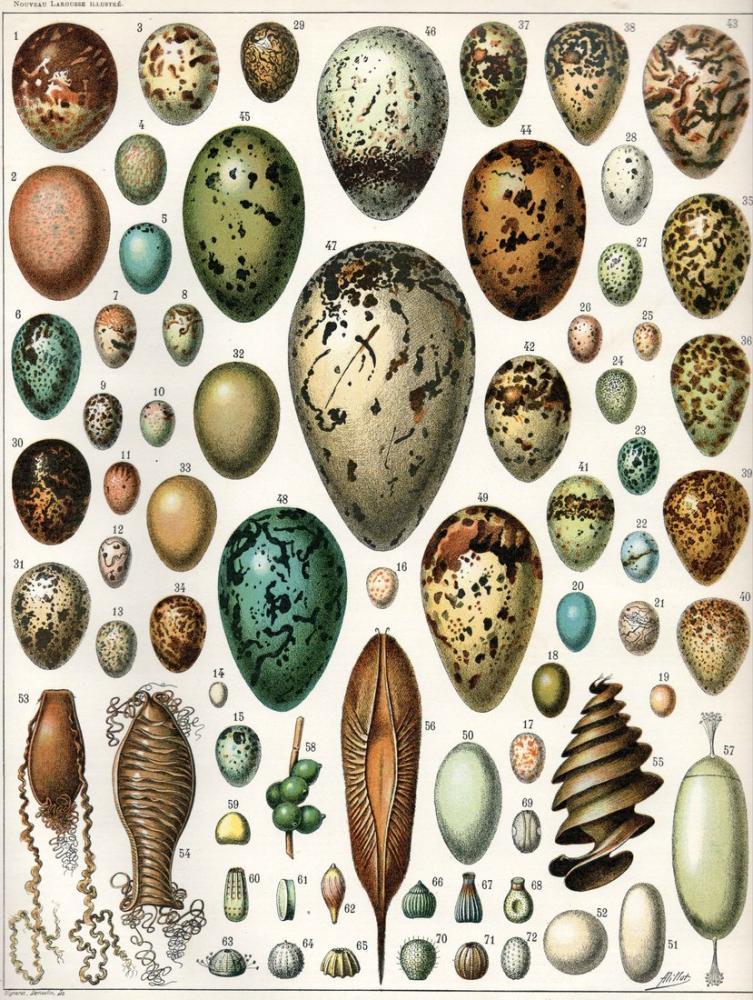 Adolphe Millot Yumurtaları Posteri, Bitki, Poster Satış, all posters, kanvas tablo, canvas print sales