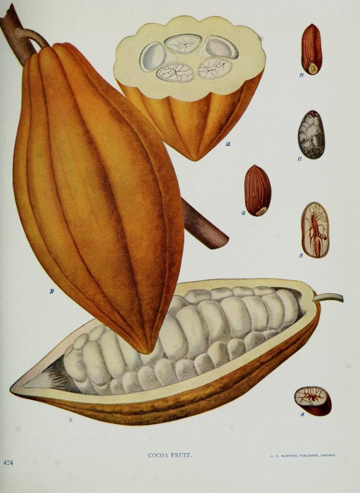 Kakao Meyvesi Posteri, Bitki, Poster Satış, all posters, kanvas tablo, canvas print sales