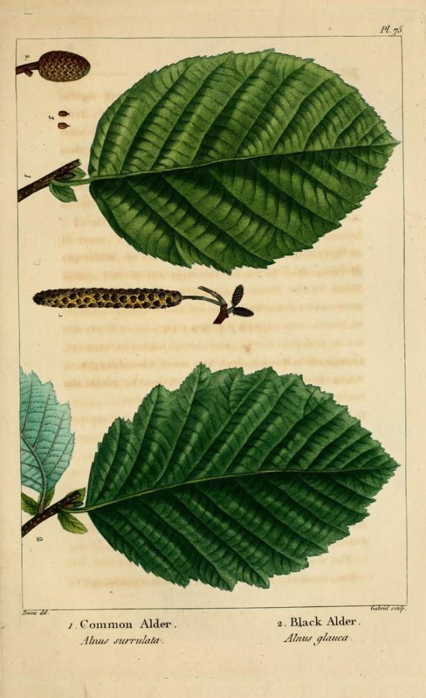Alder Poster, Plant, Poster Satış, all posters, kanvas tablo, canvas print sales