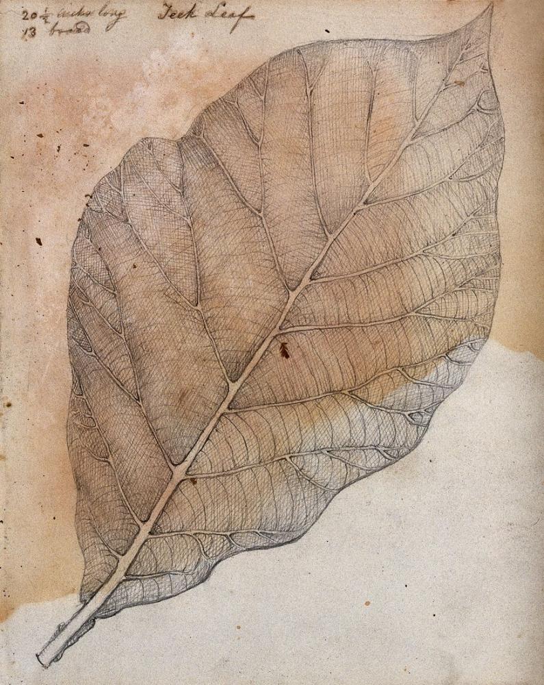 Leaf - Teak Tree Poster, Plant, Poster Satış, all posters, kanvas tablo, canvas print sales