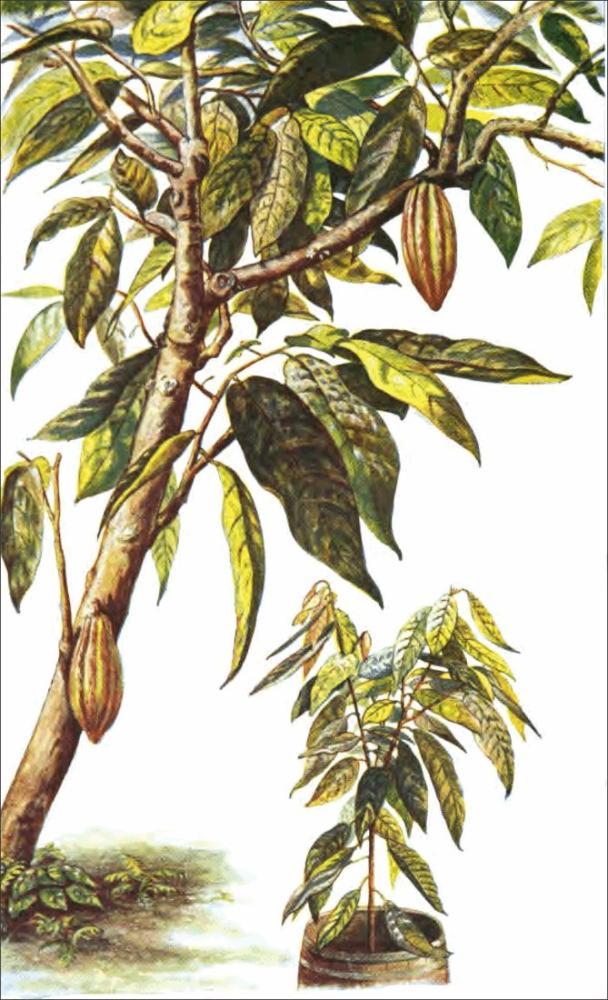 Kakao Ağacı ve Fide Posteri, Bitki, Poster Satış, all posters, kanvas tablo, canvas print sales